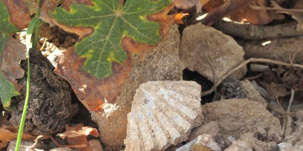 Calamoni di Favignana: particolare di foglia di vite piena di salsedine, fossile di conchiglia e posidonia marina