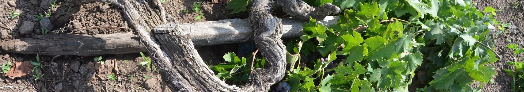 Cavanera Etnea: viti antiche a piede franco, Concettina.