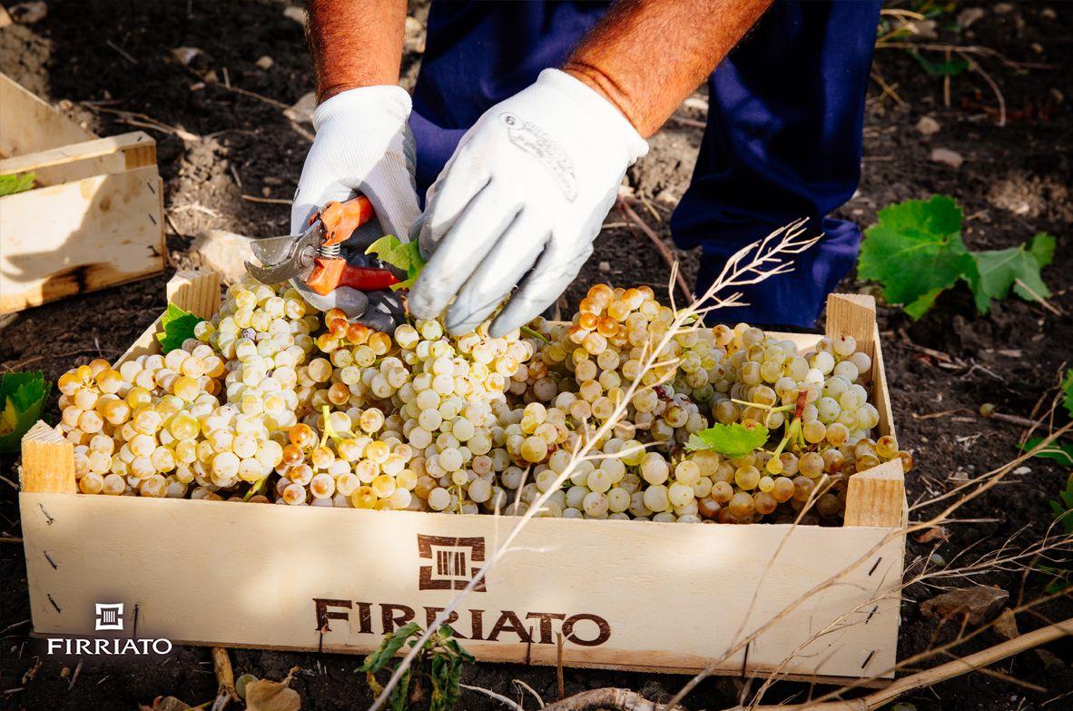 ©all copyright reserved by Firriato - i nostri eroi maneggiano con cura i grappoli - La vendemmia 2016 del Catarratto
