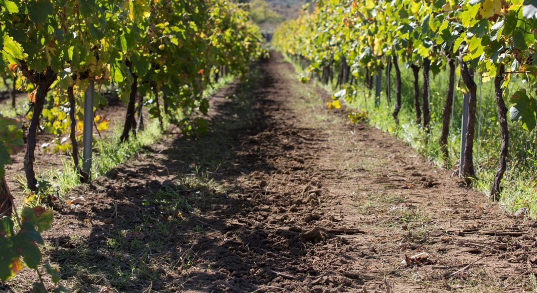 ©all copyright reserved by Firriato - 2 Filari di Cavanera 1100x600 - Heroic viticulture: Etna and Favignana