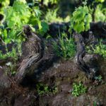 ©all copyright reserved by Firriato - Firriato Prefillossera 4 150x150 - The PrePhylloxera vineyard