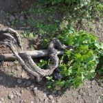 ©all copyright reserved by Firriato - Firriato Prefillossera 5 150x150 - The PrePhylloxera vineyard