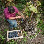©all copyright reserved by Firriato - Firriato Prefillossera 8 150x150 - The PrePhylloxera vineyard