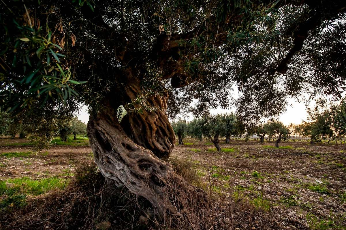 ©all copyright reserved by Firriato - Senza titolo 1 - Baglio Sorìa