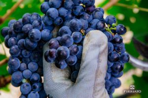 ©all copyright reserved by Firriato - Grappolo duva 300x199 - Grape harvest in Sicily
