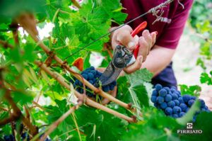 ©all copyright reserved by Firriato - Vendemmia Firriato 300x199 - Grape harvest in Sicily