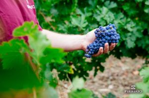 ©all copyright reserved by Firriato - Vendemmia Siciliana 300x199 - Grape harvest in Sicily