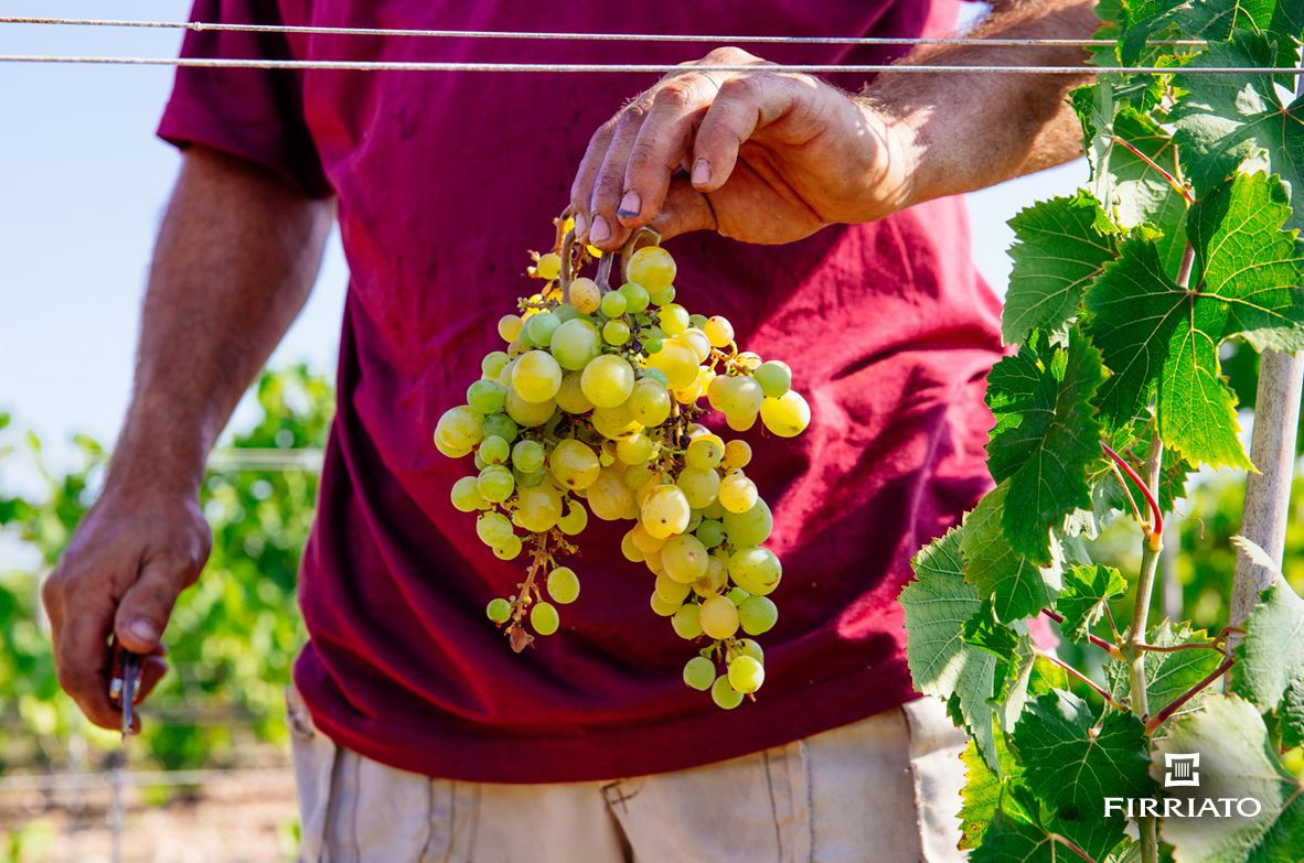 ©all copyright reserved by Firriato - La fine della vendemmia Firriato - La fine della vendemmia 2017