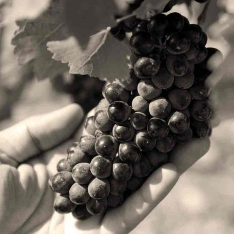 ©all copyright reserved by Firriato - 01 seppia 480x480 - Perricone, the minor vine