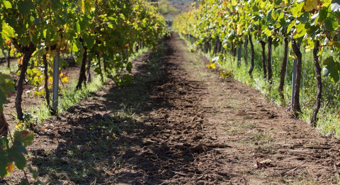 ©all copyright reserved by Firriato - 2 Filari di Cavanera 1100x600 - La viticultura eroica: Etna e Favignana