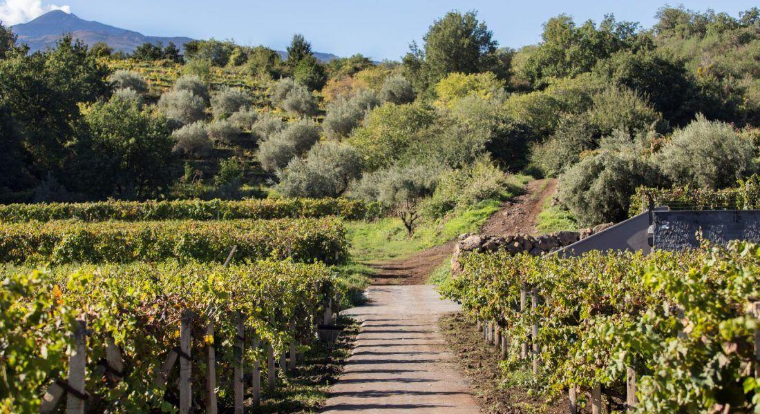 ©all copyright reserved by Firriato - 3 I vigneti di Nerello Mascalese 2 1100x600 - La viticultura eroica: Etna e Favignana