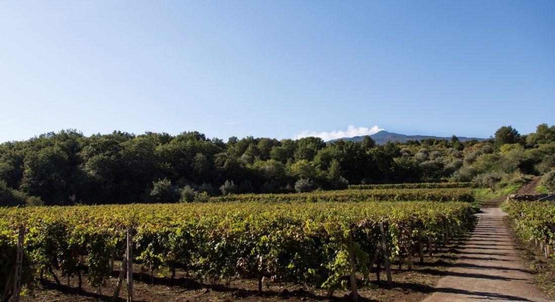 ©all copyright reserved by Firriato - 4 I Vigneti di Nerello Mascalese 1100x600 - La viticultura eroica: Etna e Favignana