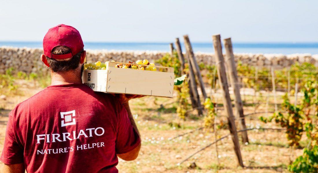 ©all copyright reserved by Firriato - 4 Vendemmia a Favignana 2 1100x600 - La viticultura eroica: Etna e Favignana