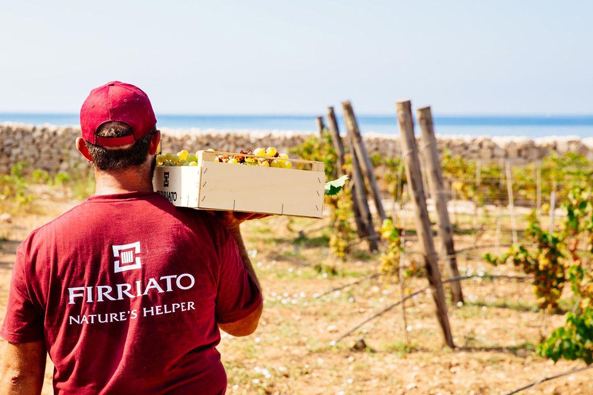 ©all copyright reserved by Firriato - 3 Linflusso del mare Grape Harvest in Favignana island 1 - Calamoni di Favignana