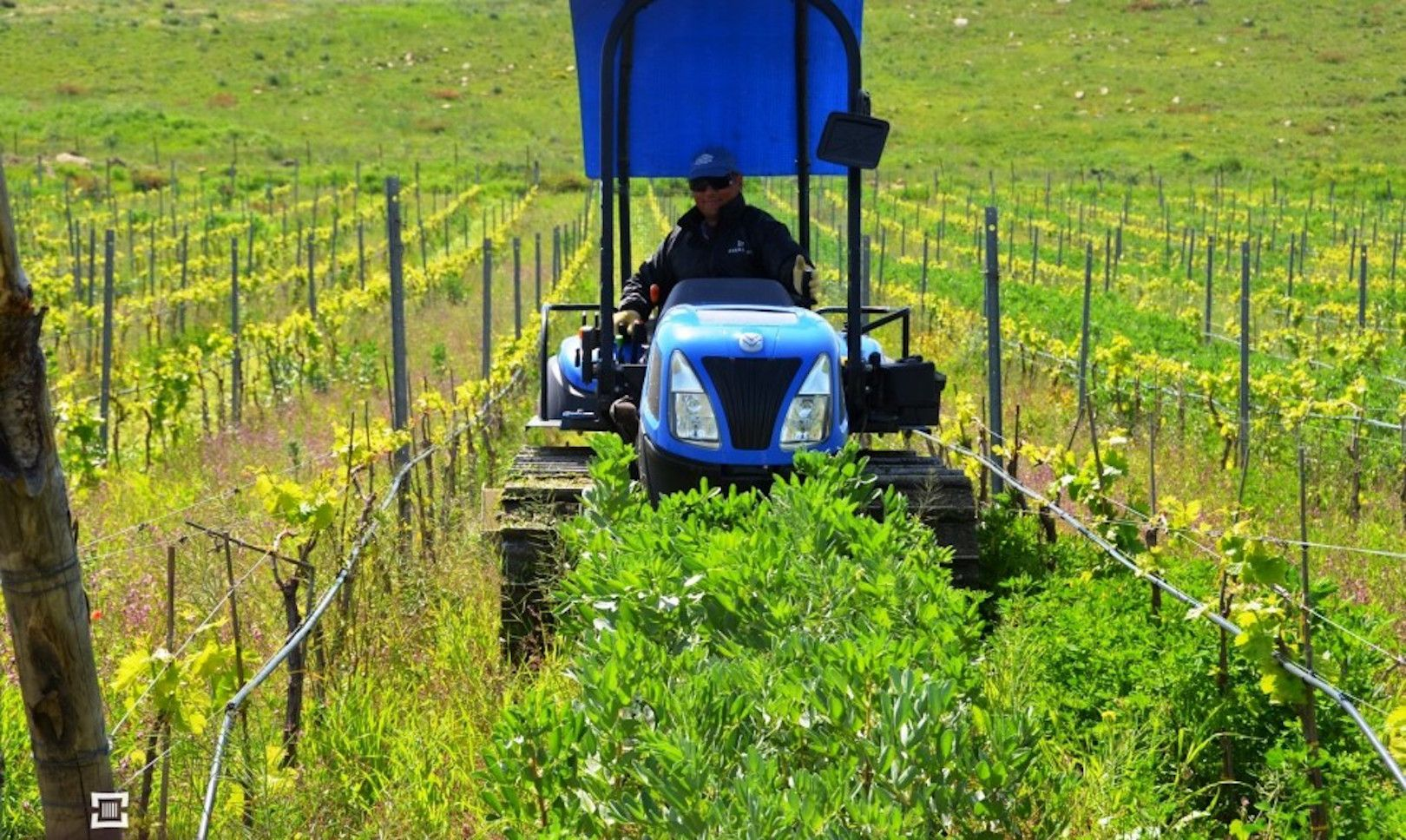 ©all copyright reserved by Firriato - 5 Pretiche agronomiche il sovescio del favino 1 - Baglio Sorìa